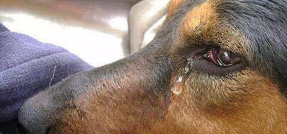 cane lacrima