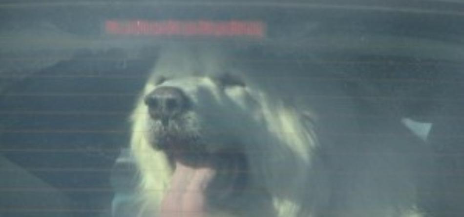 cane calore